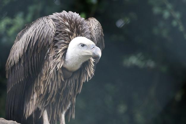 Close de um abutre-grifo