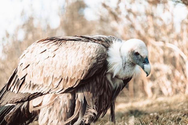 Close de um abutre no chão em tons de sépia