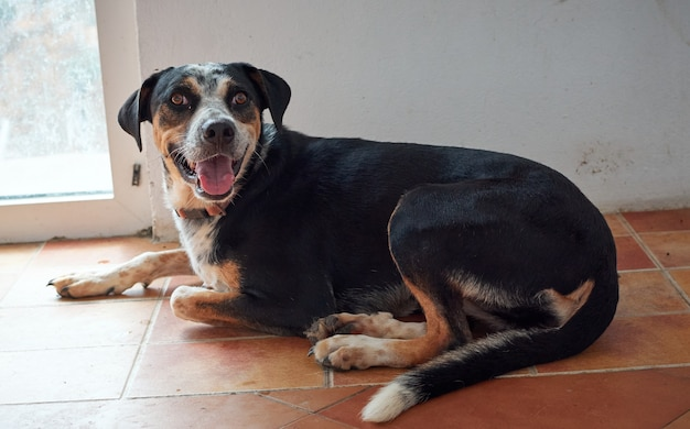 Close de um adorável caça terrier alemão deitado no chão dentro de casa