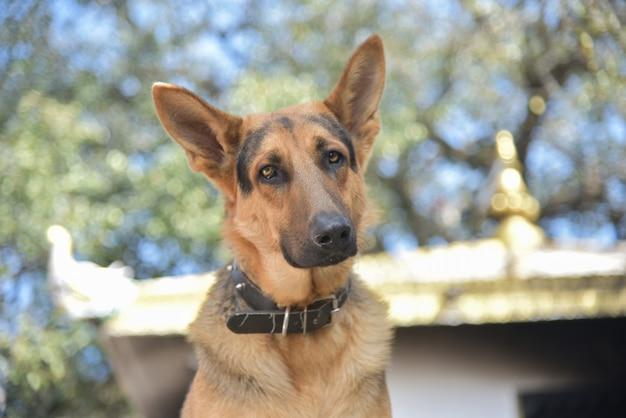 Close de um adorável cão pastor alemão marrom com uma coleira