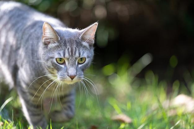 Close de um adorável gato cinza caminhando em um campo sob a luz do sol