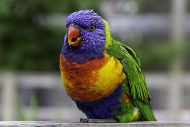 Close de um arco-íris loriini sentado em uma prancha de madeira