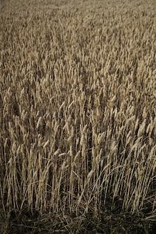 Close de um belo campo de trigo e colheita