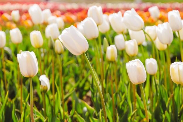 Close de um belo campo de um campo de tulipas coloridas brilhantes