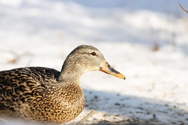 Close de um belo pato selvagem descansando em um terreno coberto de neve