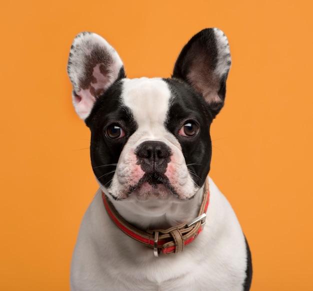 Close de um bulldog francês em frente a uma parede laranja