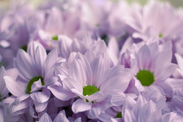 Close de um buquê de lindos crisântemos lilases claros. flores da primavera