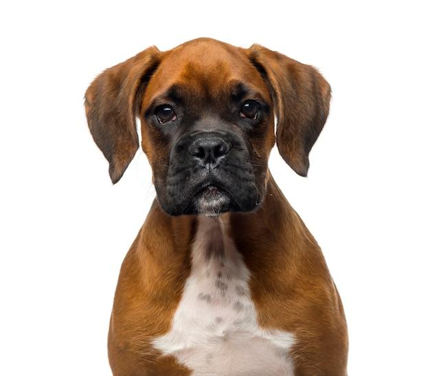 Close de um cachorrinho boxer em frente a uma parede branca