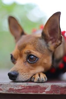 Close de um cachorro chihuahua com o rosto apoiado na pata enquanto não olha para a câmera