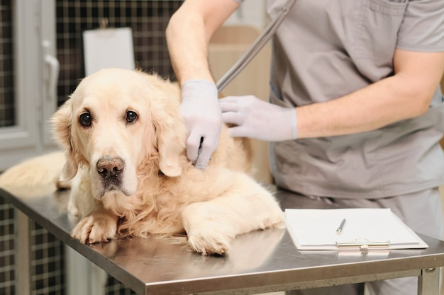 Close de um cachorro doméstico olhando para a câmera enquanto o veterinário ouve o coração batendo com um estetoscópio