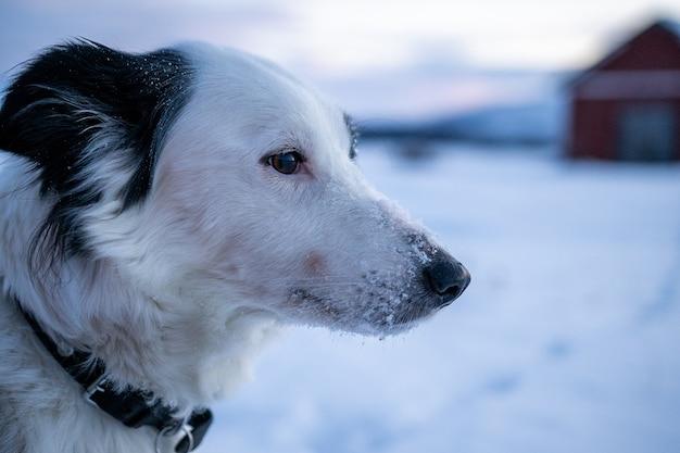 Close de um cachorro fofo com neve no focinho no norte da suécia