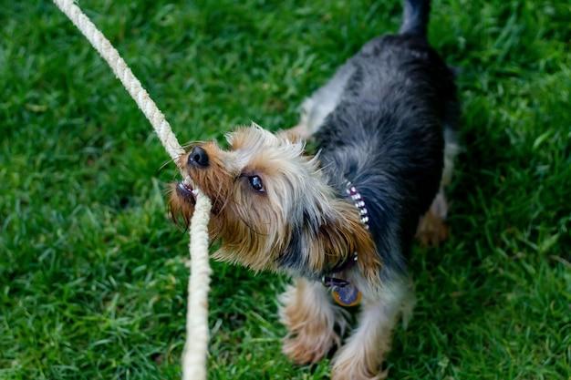 Close de um cachorro fofo, mastigando uma corda em um campo gramado