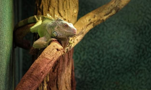 Close de um camaleão de pantera em um galho