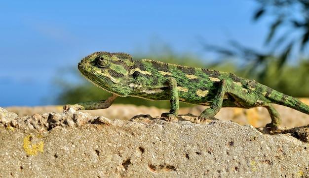 Close de um camaleão mediterrâneo mantendo o equilíbrio na ponta dos pés em uma parede de tijolos finos