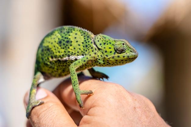 Close de um camaleão sentado em uma mão na ilha de zanzibar, tanzânia, áfrica