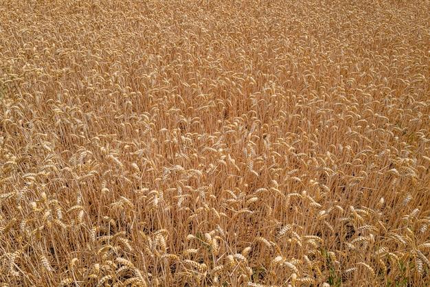 Close de um campo de trigo sob a luz do sol em essex, reino unido