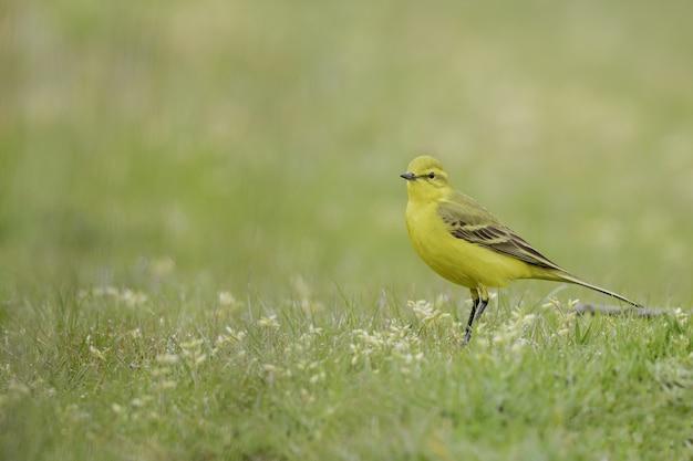 Close de um canário doméstico amarelo em um campo verde