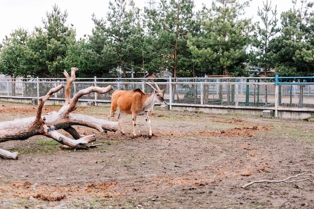 Close de um canna comum no zoológico. também conhecido como elã do sul ou antílope elã, é um antílope da savana e das planícies nativo da áfrica do sul e oriental.