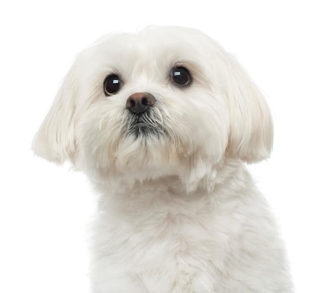 Close de um cão maltês, olhando para cima