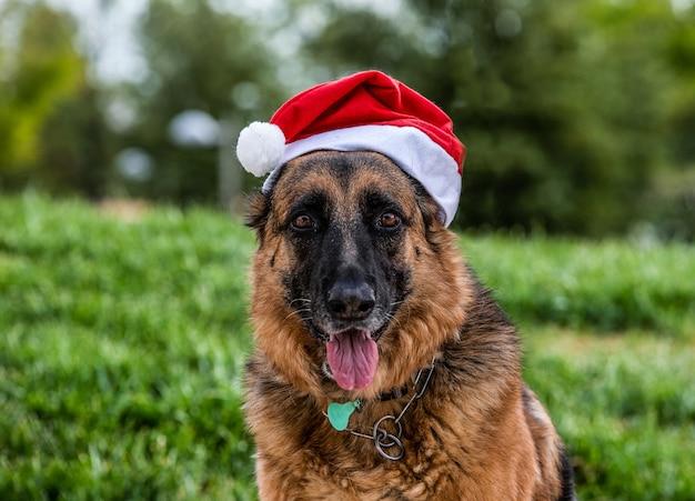 Close de um cão pastor alemão com um chapéu de papai noel