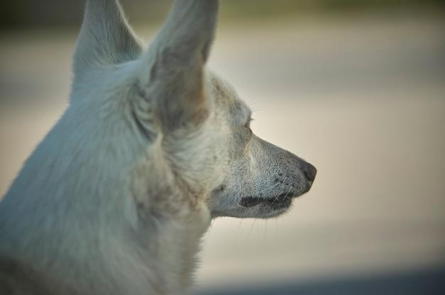 Close de um cão pequeno e meticuloso, tirado por trás enquanto olha para o próximo objetivo. o perfil do pequeno animal de estimação é bem conhecido.