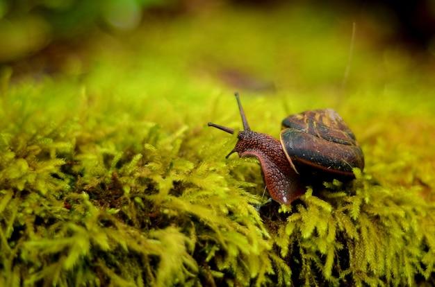 Close de um caracol marrom em uma concha rastejando na grama
