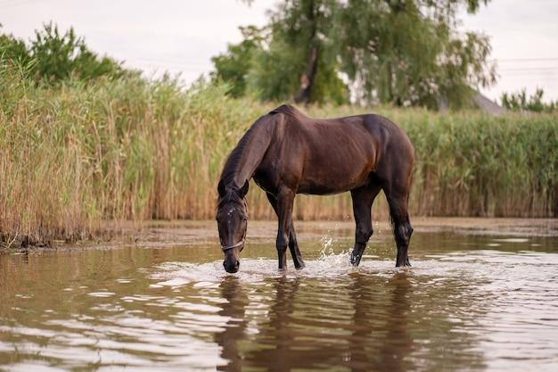 Close de um cavalo escuro bebe água de um lago