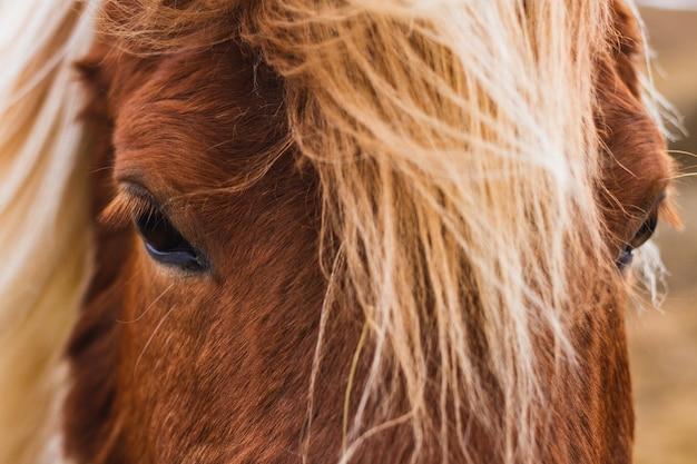 Close de um cavalo islandês sob o sol na islândia
