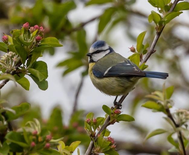 Close de um chapim-azul-euro-asiático empoleirado em um galho de árvore