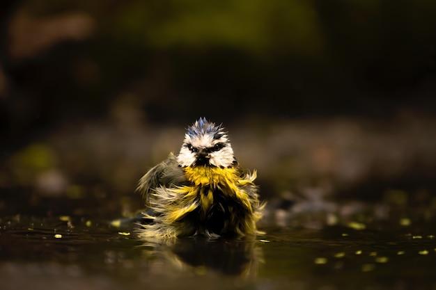 Close de um chapim-azul-euro-asiático engraçado tomando banho, um pequeno passeriforme no fundo desfocado