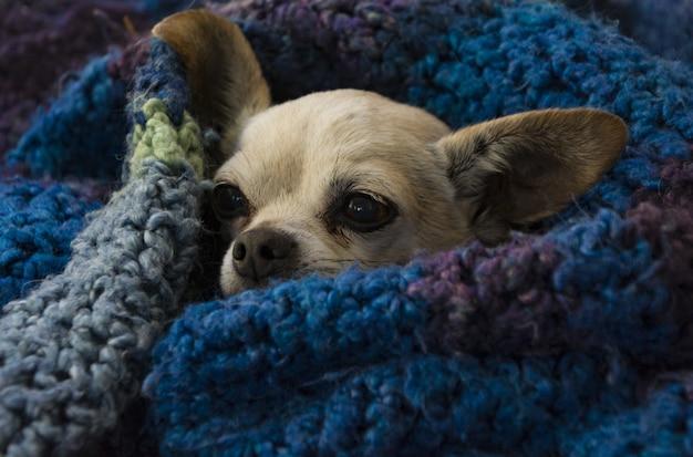 Close de um chihuahua marrom fofo enrolado em um cobertor azul aconchegante