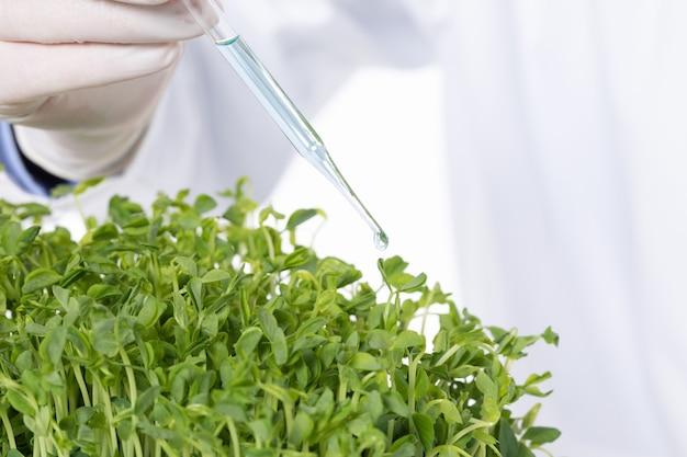 Close de um cientista adicionando substâncias tóxicas a brotos de ervilha em um laboratório