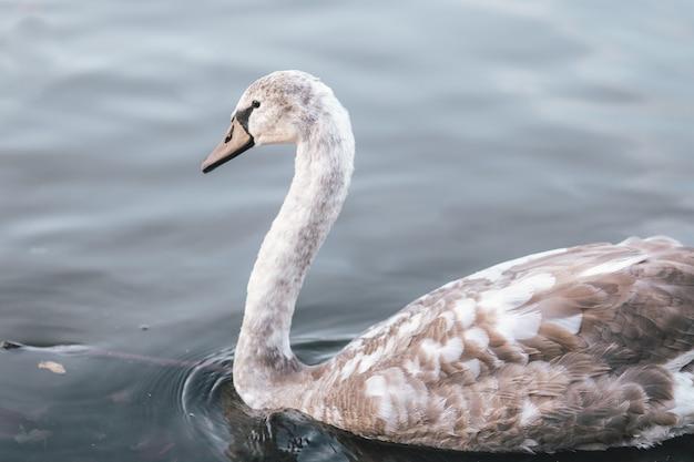 Close de um cisne cinza em um lago sob a luz do sol