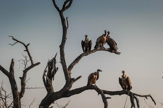 Close de um comitê ou um local de abutres em galhos de árvores secas em hoedspruit, áfrica do sul