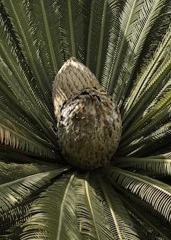 Close de um cone de planta cicadácea em um parque