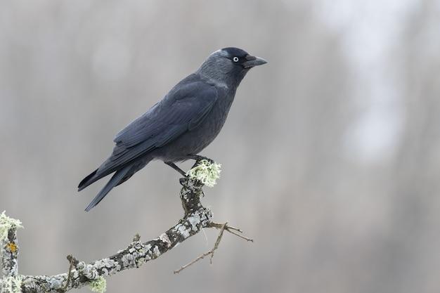 Close de um corvo americano empoleirado em um galho de árvore com uma superfície desfocada