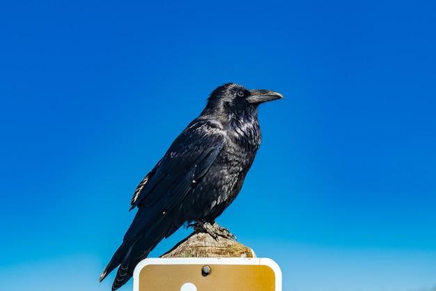 Close de um corvo comum preto empoleirado em uma placa de trânsito