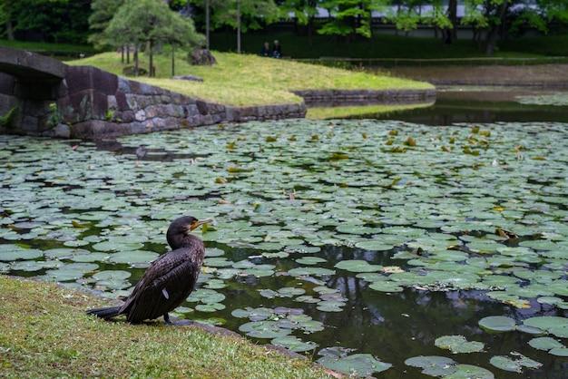 Close de um corvo marinho perto de um lago no jardim botânico koishikawa, tóquio