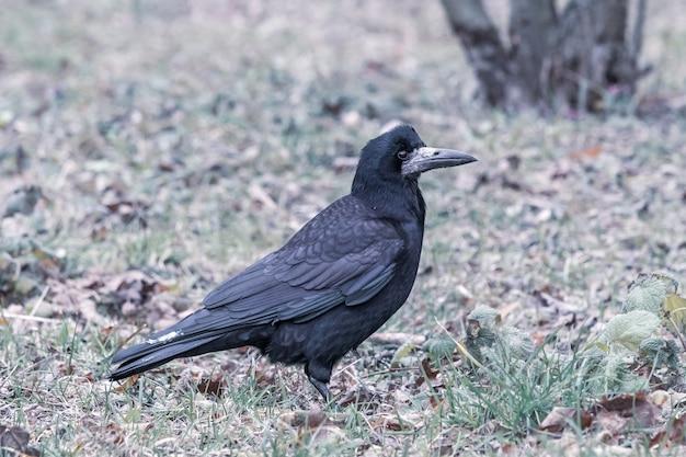 Close de um corvo preto parado na grama verde