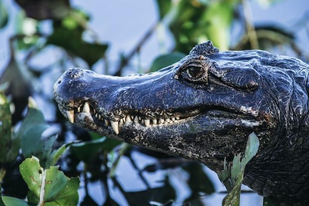Close de um crocodilo americano cercado por vegetação sob a luz do sol