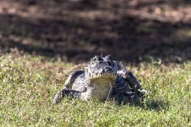 Close de um crocodilo em um campo verdejante