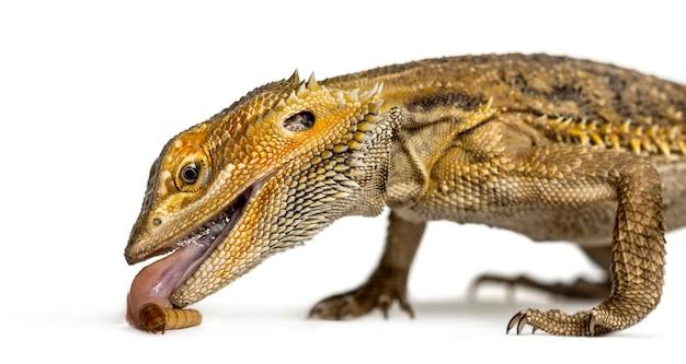 Close de um dragão barbudo comendo larva, isolado no branco