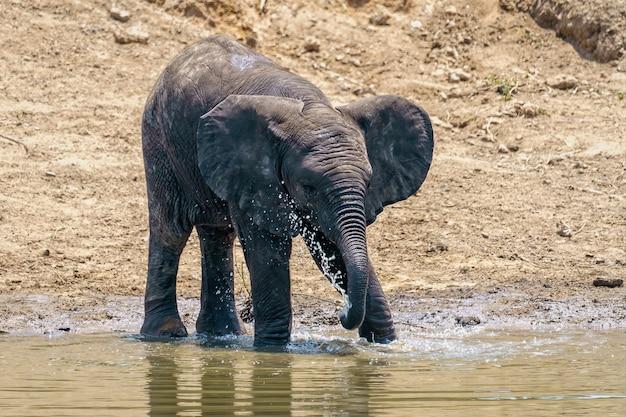Close de um elefante bebendo e brincando com a água do lago durante o dia