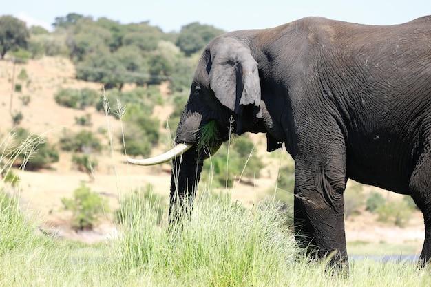 Close de um elefante com longas presas comendo grama em uma savana ensolarada