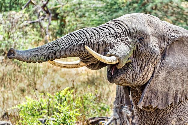 Close de um elefante fazendo o som de trombeta ao empurrar o ar pela tromba