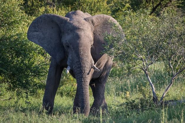 Close de um elefante fofo andando perto de árvores no deserto