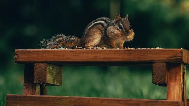 Close de um esquilo bonitinho comendo nozes em uma superfície de madeira em um campo