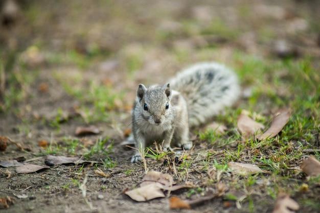 Close de um esquilo cinza no chão