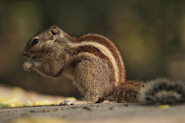 Close de um esquilo comendo uma noz