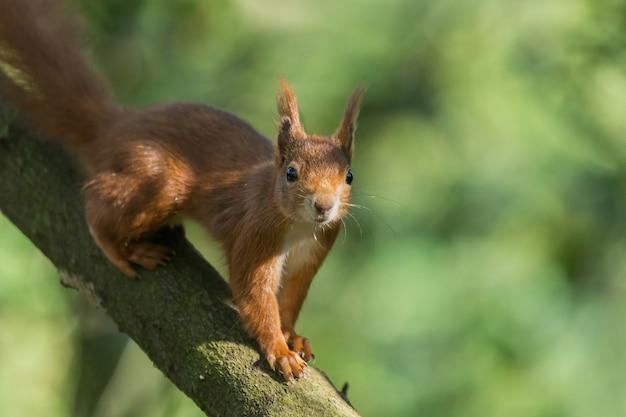 Close de um esquilo comum em um galho de árvore contra um fundo verde borrado